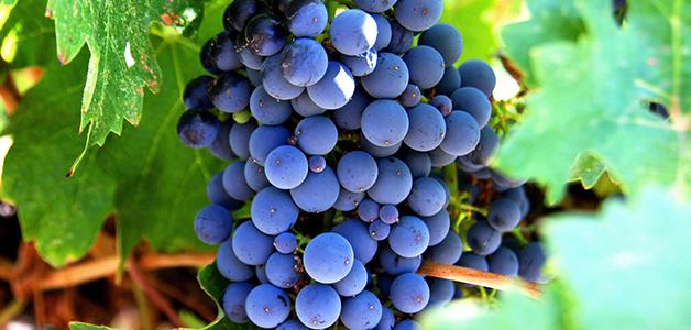 Сорта винных виноградов