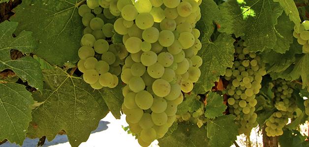 Описание сорта винограда