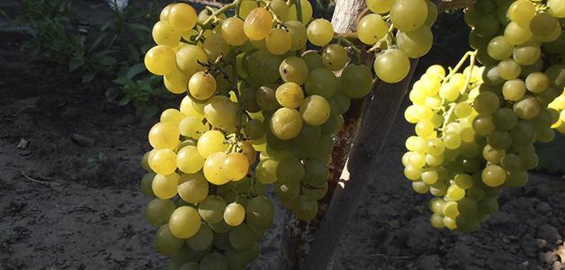 Винные сорта винограда для Украины