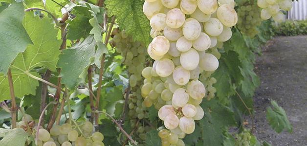 Грузинские винные сорта винограда