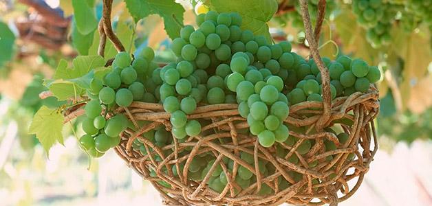 Виноград: состав, польза и вред, правила выбора и хранения