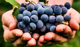Виноград – польза, вред, состав и правила хранения