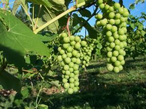 Чем опрыскать виноград
