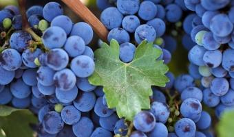 Виноград Изабелла – польза и полезные свойства винограда Изабеллы