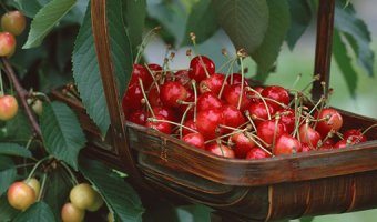 Сорта вишни, устойчивые к монилиозу или ожогу деревьев