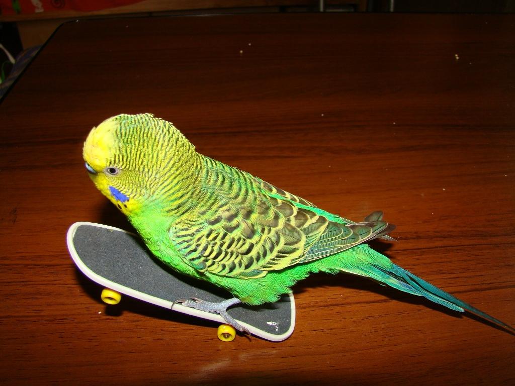 У попугая выпадают перья изоражения