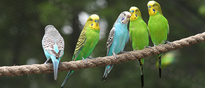 Волнистый попугай – уход и содержание в домашних условиях