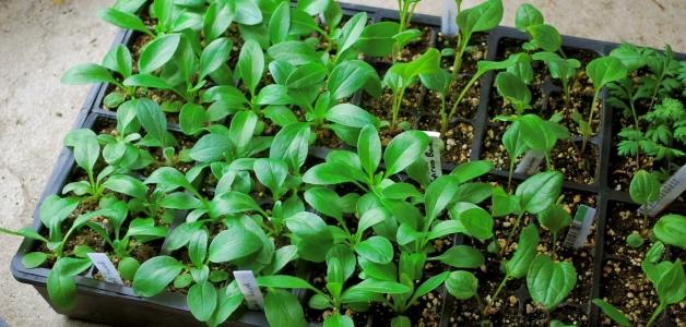 выращивание эхинацеи