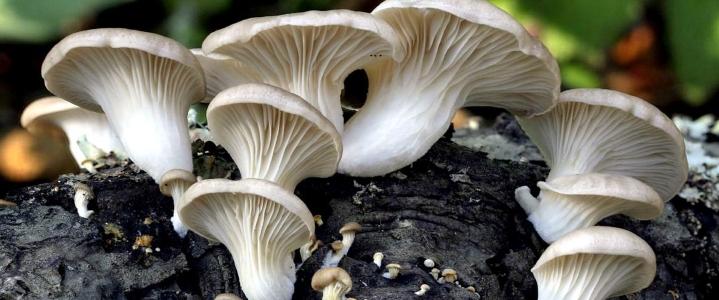 выращивание вешенок без мицелия