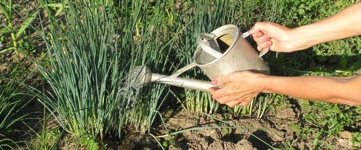 Чем полить желтый лук