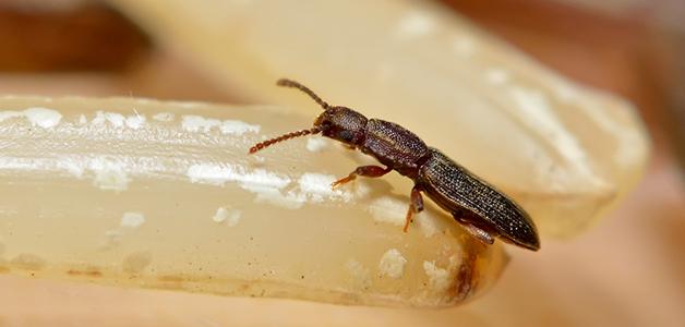 Жучки в крупе – как избавиться от насекомых