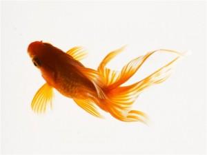 с кем селить золотых рыбок