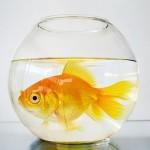 Особенности содержания золотых рыбок
